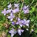 Bild ist leicht unscharf, ich weiß. Kann mir trotzdem jemand einen Tip geben, was das sein könnte, hier versagt mein Alpenblumen-Bestimmungsbuch von Michael Lohmann.