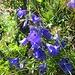 Glockenblume, klar, aber welche der über 300 verschiedene Arten? Boden jedenfalls nicht/wenig kalkhaltig.