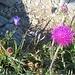 Berg-Distel (Carduus defloratus); Foto vom 05.08. ersetzt durch Foto vom 07.08.