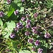 Langhaariger Thymian = Alpen-Thymian (Thymus praecox)