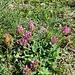 Alpen-Klee (Trifolium alpinum), leider war kein Quadrifolium dabei...
