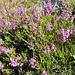 Besenheide (Calluna vulgaris); Foto vom 05.08. ersetzt durch Foto vom 07.08.