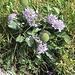 Glänzende Skabiose (Scabiosa lucida); Foto vom 05.08. ersetzt durch Foto vom 07.08.