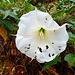 Sego Lilly, die Utah State flower, floral emblem, ein bisschen verrupft