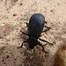 Der Käfer bockt, als ich ihn fotografieren will