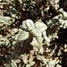 Immer wieder die Frage bei glänzenden dreiblättrigen Gewächsen: Poison Ivy, Poison Oak oder doch harmlos?