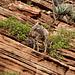 Junges Desert Bighorn Sheep