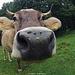 Neugierige Kuh bei Cavril :-)