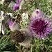 die stachlig-schönen Blüten von oben ...