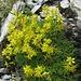 Blumen gibts fast überall. Knapp unter dem Gipfel hier der Fetthennen-Steinbrech
