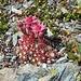 Spinnwebhauswurz (Sempervivum arachnoideum)
