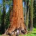 Großer Baum, kleiner Mensch