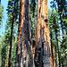 Brände machen den Bäumen aufgrund ihrer mehrlagigen Rinde nichts aus