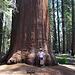 Der Roosevelt Tree
