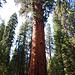 General Sherman Tree, der Baum der Bäume, laut Info 2200 Jahre alt