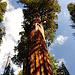 Nicht nur alt, sondern auch sehr groß ist der General Sherman Tree