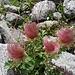 ... mit den kunstvoll gedrehten, verwelkten Blütenständen