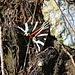 Russischer Bär (Euplagia quadripunctaria) - ja, der Schmetterling heisst wirklich so!