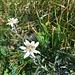Edelweisse kurz vor dem Schibergsattel