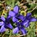 DIE Herbstblume: gefranster Enzian