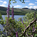 Omnipräsent: der Eisenhut (Aconitum septentrionale)