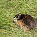 Der Hauslemming der Hüttenwartsfamilie (Lemmus lemmus)