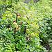 Auf dem Rückweg nach Njunjes wiederum viel Engelwurz (Angelica archangelica)