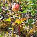 ... und darin Moltebeeren (Rubus chamaemorus)