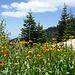 Reichlich Flora, Bigelow's Sneezeweed