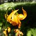 Leopard Lily, www.sequoiawildflowers.com ;-)
