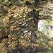 <b>Questo abete rosso (Picea abies) è stato colpito probabilmente da una malattia fungina (Chrysomyxa rhododendri) che genera la decolorazione degli aghi; l'attacco determina un effetto screziato che può apparire anche piacevole, ma che purtroppo è segno di malattia, anche se non porta alla morte della pianta. Il fungo si sviluppa tra i 1000 e i 2000 m.<br />Qui siamo a circa 1100 m di quota.</b>