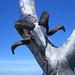 Ein Klassiker: Der weithin sichtbare Gipfelbaum auf dem Schär