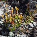 Verblühte Diapensia lapponica