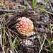Am Kamajakka-Pfad viele Pilze: Fliegenpilz (Amanita muscaria)