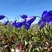 Blaue Glockenblume vor blauem Himmel