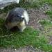 Marmotte devant le Refuge des Drayères
