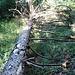 eine querliegender Baum zwingt zum Spurwechsel