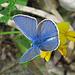 Bläuling / Lycaenidae