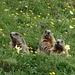Tag 33: Murmelis an der Tierser-Alpl-Hütte.