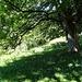 Herbstzeitlosenwiese unter mächtigem Baum