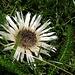 eine weitere typische Herbstblume
