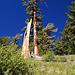 Im Vergleich zu den Riesen im Nationalpark sind die Bäume hier eher mickrig