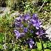 Der Feld-Enzian ist häufig anzutreffen. Erstaunlicherweise hat es in den Grüppchen immer wieder Exemplare mit 5 Blütenblättern