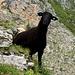 Mouton sur la Stubenflue