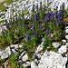 Hohe Aconitumdosis: leuchtender Blauer Eisenhut oberhalb Schafsattel