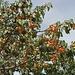 Albicocche: che fatica non mangiarle....... Le albicocche - fresche o ancora più secche - sono tipiche del Ladakh