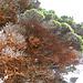 Orange Bäume