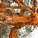 Das orange, samtartige Geflecht ist eine grüne Alge, die Karotin produziert. Sie schädigt den Baum nicht. Außerdem findet man sie auch an Felsen.