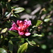 Alpine rose blooming already, a little early, but with this winter I would be confused too