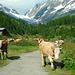 Kühe und Mensch:P